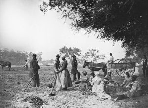 African American men and women hoe and plow the earth while others cut piles of sweet potatoes for planting. One man sits in a horse-drawn cart.