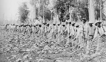 Photo of black prisoners engaged in farm labor.