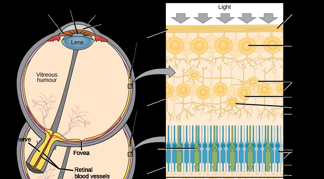 Cross section of the human eye.